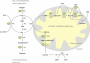 health:metabolites-of-the-homocysteine-remethylation-and-sulfoxation-transsulfuration.png